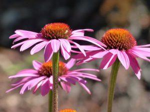 échinacée fleur