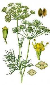 Plante Aneth odorant