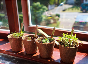 plantes cultivées en pot